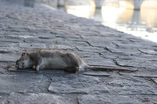 Британские города атакованы полчищами крыс, оголодавших из-за коронавируса