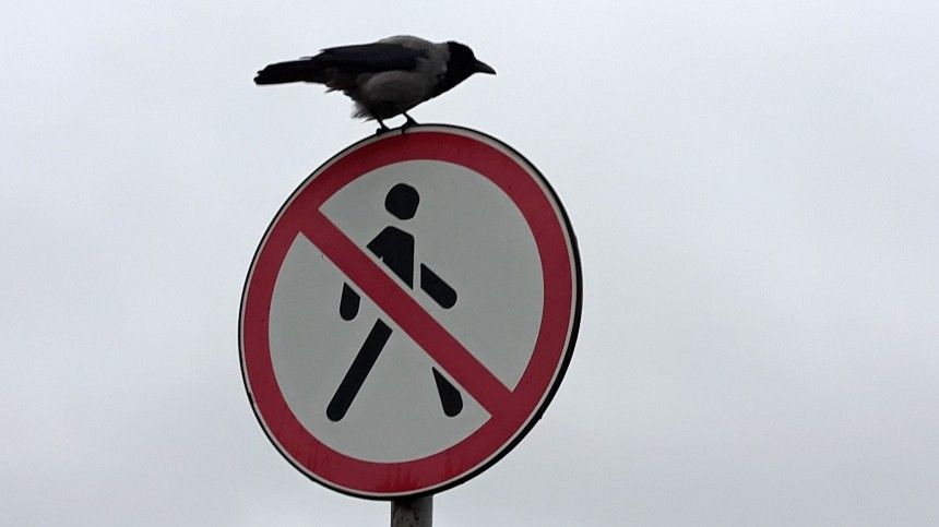 Видео: Сердобольная ворона помогла неторопливому ежику перейти через дорогу
