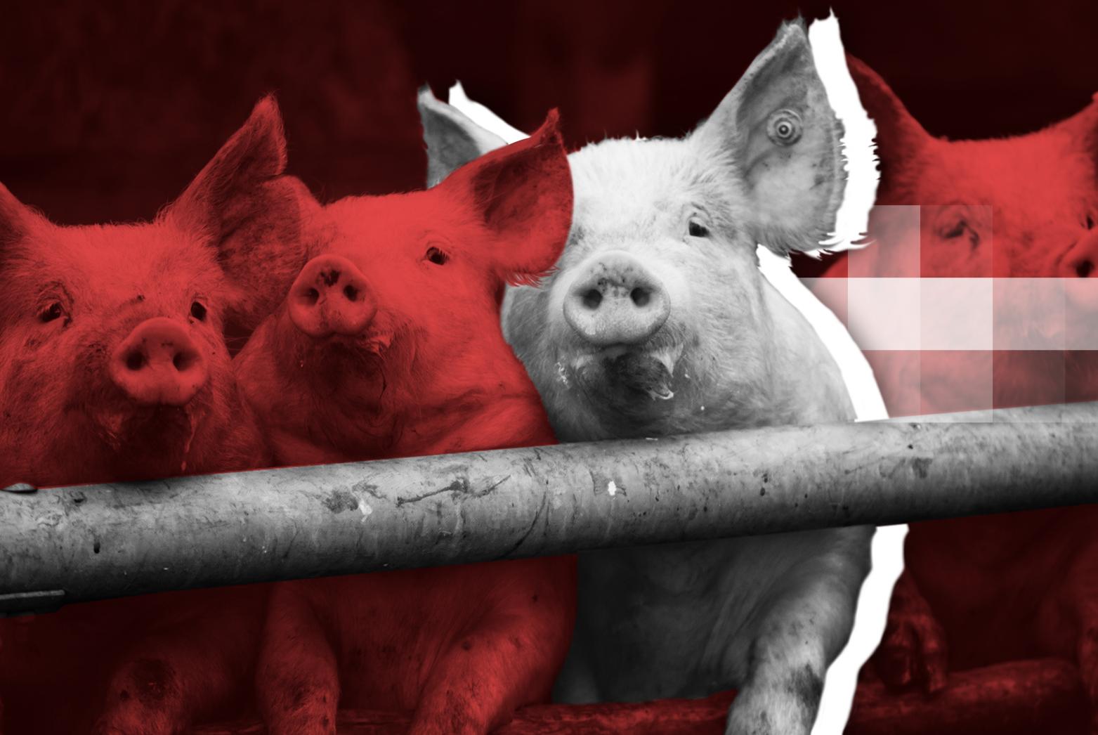 Ученые открыли новый штамм свиного гриппа, способного вызвать очередную пандемию