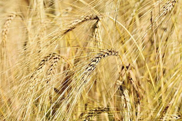 Минсельхоз США: Россия сохранит лидерство по экспорту пшеницы