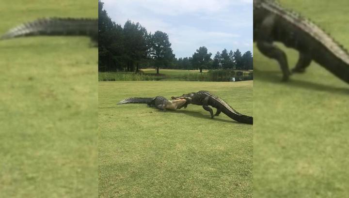 Аллигаторы два часа соревновались в точности ударов на поле для гольфа
