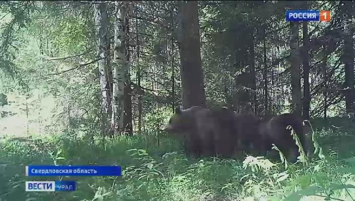 Медвежья семья попала в видеоловушку в Висимском заповеднике