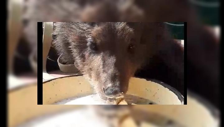 Барнаульский зоопарк приглашает на кулинарное шоу с медведицей Глашей