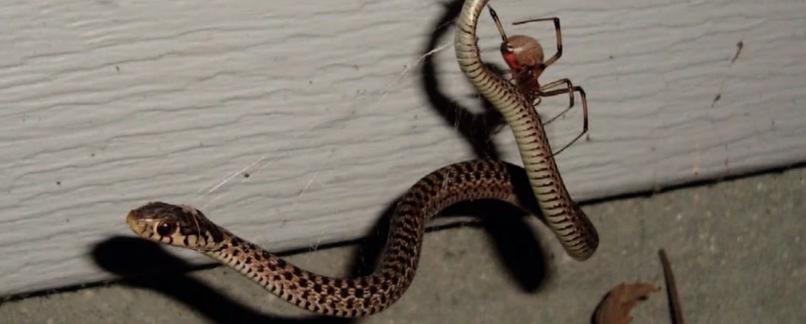 Жуткие фотографии показывают пауков, питающихся змеями
