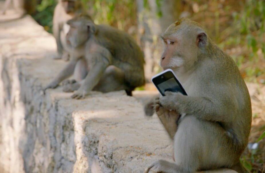 Почему обезьяны воруют смартфоны туристов и совершают другие преступления?