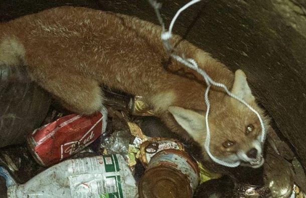 Сталкеры спасли лисенка, провалившегося в люк
