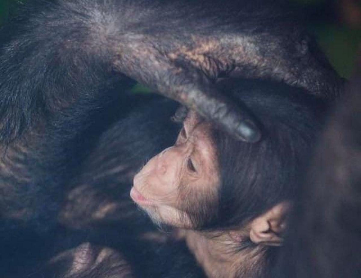 В харьковском экопарке впервые показали двух маленьких шимпанзе
