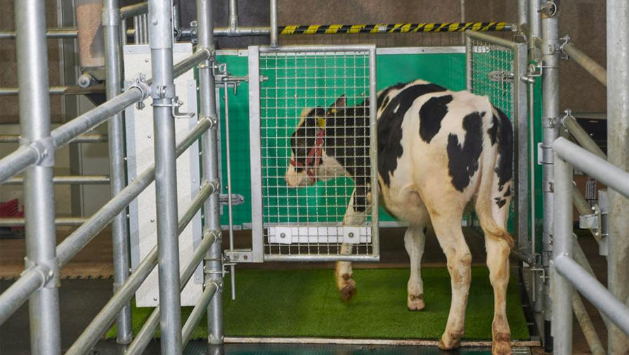 Зоологи приучили коров к туалету ради экологии
