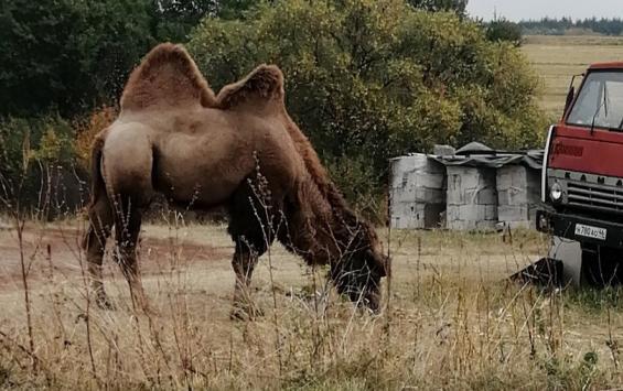 В Курской области пасется верблюд