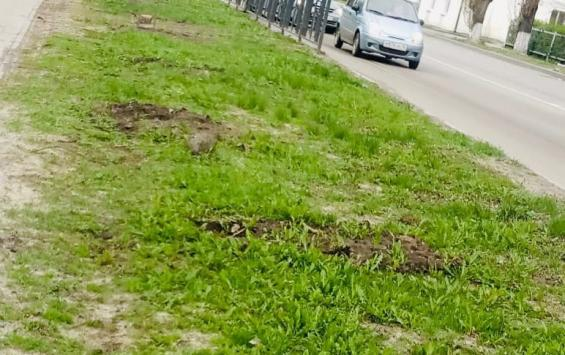 В Курске украли саженцы сакуры
