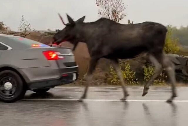 В Канаде гуляющего лося уважили почетным эскортом. Его с мигалками сопровождала полиция